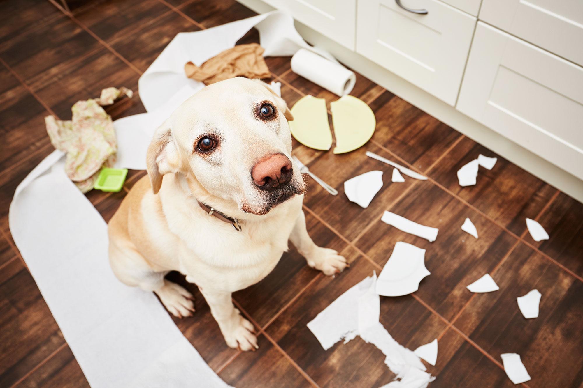 destructivitat gos